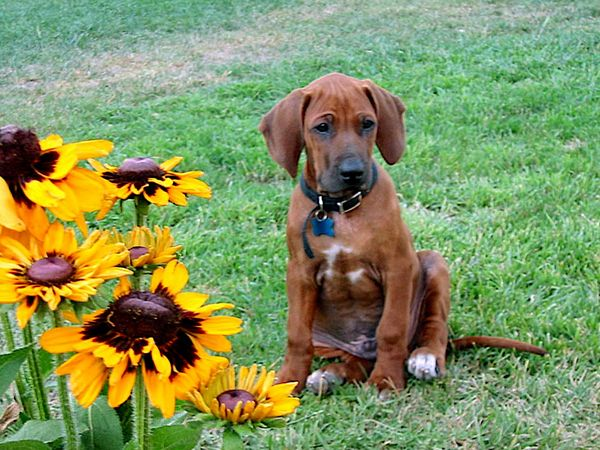 Dog Sitting Next to Sunflowers